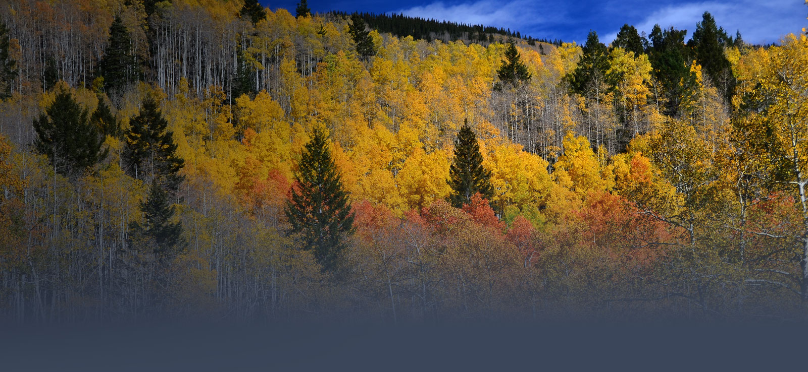 Aspen trees in vibrant Fall colors